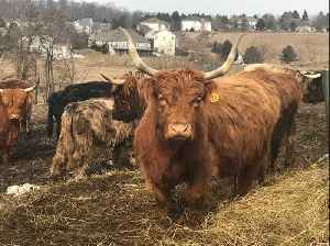 Scottish Highland Cattle flock to accordion music [Video]