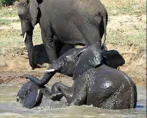 Young elephant dunks brother's head under water during play fight [Video]