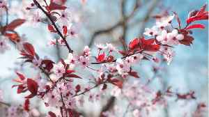 What You Didn't Know About Cherry Blossoms [Video]