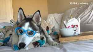 Husky dog wears bue glasses and eats out of his bowl that says i wuff you [Video]