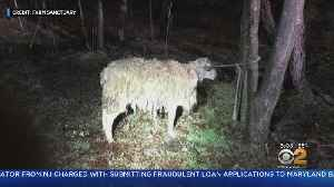 Sheep Rescued In Coney Island [Video]