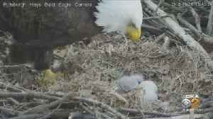 Audubon Society Confirms First Eaglet Of 2019 At Hays Nest [Video]