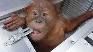 Russian tourist detained after 'trying to smuggle endangered baby orangutan' out of Bali [Video]