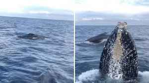 What An Over-whale-ming Photobomb! Ginormous Humpback Pops Head In Front Of Woman Filming Swimming Whale [Video]