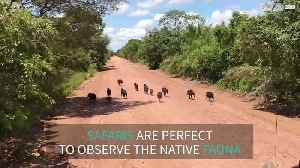 Family of wild boars surprises tourists [Video]