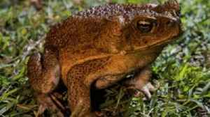 News video: Outbreak Of Poisonous Toads Alarms Florida Residents