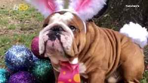 Henri the English Bulldog Wins the Cadbury 'Bunny Tryouts' [Video]