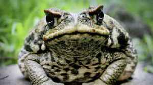 South Florida neighborhood infested by poisonous bufo toads [Video]