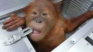 Watch: Baby orangutan rescued from suitcase of would-be smuggler [Video]