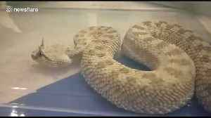Horned pitviper among rare reptiles seized from smuggler's baggage at Indian airport [Video]