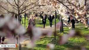 How Climate Change Is Impacting Washington, DC's Cherry Blossoms [Video]