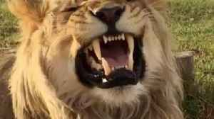 Roaring With Laughter! Conservationist Reveals Truth Behind Video Of Lion Who Appears To Be Hysterically Laughing [Video]