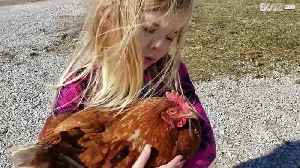 Little girl gets chicken to sleep with lullaby! [Video]