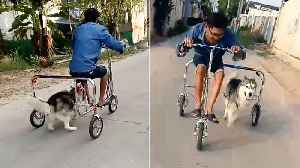 Husky Runs On Special Bike Trainer [Video]