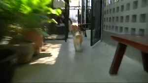 Corgis on call at Bangkok cafe [Video]