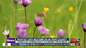 Painted Lady Butterflies in Kern County [Video]