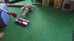 Ferrets OBSESSED with Vacuum [Video]