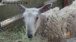 Sheep Rescued In New Jersey [Video]