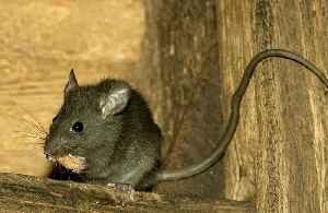 Drugs smuggled in rats [Video]