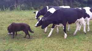 Curious cows become dog's shadow and follow everywhere he goes [Video]