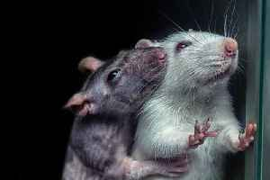 Drugs smuggled in DEAD RATS! [Video]