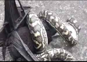 'Eyes Bigger Than Your Belly': Snake Struggles to Swallow Large Bat [Video]