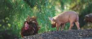 The Biggest Little Farm Documentary Movie Clip - Piglets And Chicken Confusion [Video]