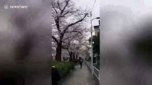 Pretty in pink: Time-lapse of Tokyo cherry blossoms in full bloom [Video]