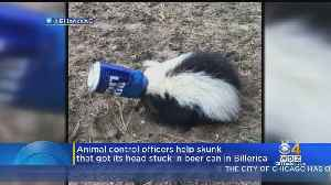 Skunk With Bud Light Beer Can Stuck On Head Taken To Tufts Clinic For Treatment [Video]