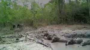 Baby elephants rescued from mud pond [Video]