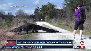 Canadian couple get close-up look at massive gator in Florida [Video]
