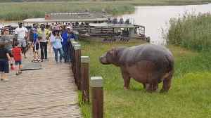 Idiotic Tourists And Their Kids Risk Lives To Take Selfies With Dangerous Hippo [Video]