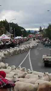 Residents in New Zealand Town Celebrate Running of the Sheep [Video]