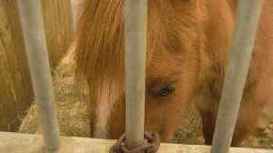 Horses Recovering After Facing Neglect, Abuse [Video]