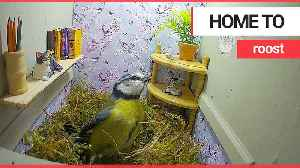 A novel birdbox resembling a sitting room is being nested in by blue tits [Video]