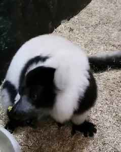 Lemur Eats Corn on the Cob [Video]