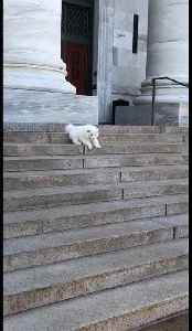 This fluffy Samoyed pup was very nervous going down some stairs [Video]