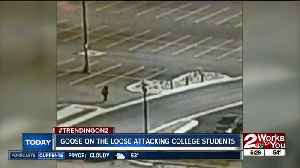 Goose on the loose attacks college students [Video]