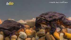 A Ribbeting Tale! Romeo, the World's Loneliest Frog, Finally Finds His Juliet! [Video]