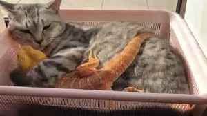 Cat Snuggles with Lizard Friend [Video]