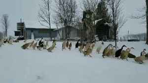 Huge Crowd of Ducks March Through Snow Together [Video]
