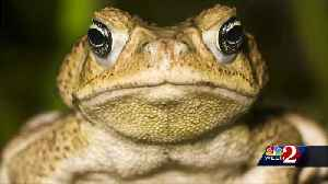 Deadly Bufo toads spotted in Central Florida [Video]