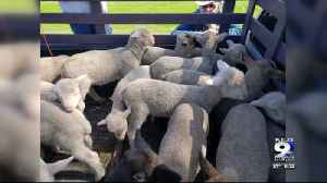 Dozens of sheep killed in suspected dog attack in Eugene [Video]