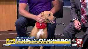 Pet of the week: Buttercup is a sweet 6-year-old Labrador Retriever mix who needs a home [Video]