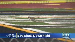 Protected Birds Make Their Nest On High School Lacrosse Field [Video]