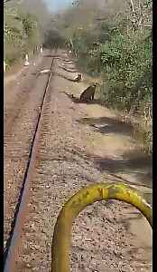 Lions on the line! Driver halts train due to wild big cats [Video]