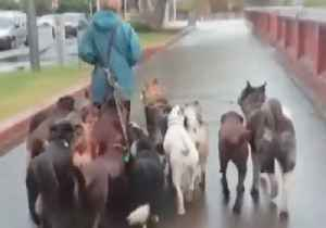 Who Let the Dogs Out? Woman Walks 'Wolf Pack' in Wellington [Video]