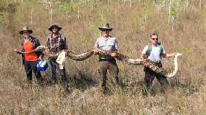 Researchers Remove Huge Python From South Florida Preserve [Video]