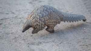 Singapore Seizes Over 14 Tons of Pangolin Scales [Video]