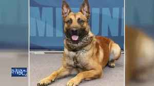 K9 goes through multiple surgeries after stabbing [Video]